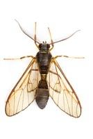 Scape Moth (Ctenuchidae), Tapanti National Park, Cartago, Co