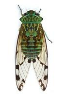 Emerald Cicada (Zamara smaragdina), Barbilla National Park,