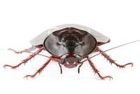 Wood Cockroach (Megaloblatta blaberoides), Barbilla National