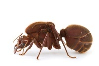 Leafcutter Ant (Atta cephalotes) queen, Barbilla National Pa