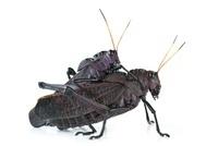 Lubber Grasshopper (Taeniopoda reticulata) pair mating, Barb