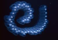 モモイロサルパの仲間 01543041576| 写真素材・ストックフォト・画像・イラスト素材|アマナイメージズ