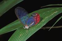 Blush Butterfly (Cithaerias menander)