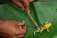モウドクフキヤガエル 毒は矢に塗って狩猟に使われる