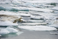 Polar Bear (Ursus maritimus) jumping between ice floes, Wrangel Island, Russia