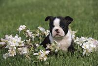 ボストン・テリア 子犬