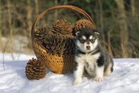 アラスカン・マラミュート 子犬