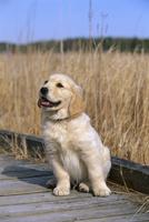 ゴールデン・レトリーバー 子犬