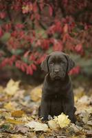 ラブラドール・レトリーバー チョコレート 子犬
