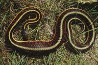 コモンガーターヘビ