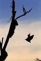 ストローオオコウモリ
