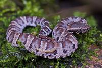 クサリヘビの仲間