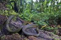 コエダヘビ属の一種
