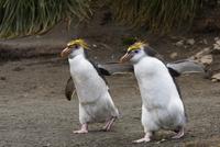 ロイヤルペンギン 01543044002| 写真素材・ストックフォト・画像・イラスト素材|アマナイメージズ