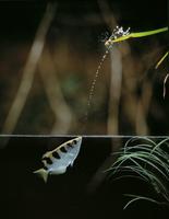 テッポウウオ属の一種