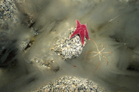 ナンキョクキバヒトデとヨロイウミグモの仲間 01543044386| 写真素材・ストックフォト・画像・イラスト素材|アマナイメージズ