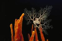 サンゴの上に乗るバスケット・スター(テヅルモヅルの仲間) 01543044397| 写真素材・ストックフォト・画像・イラスト素材|アマナイメージズ