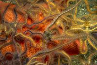 トゲクモヒトデの仲間とヒトデ 01543044402| 写真素材・ストックフォト・画像・イラスト素材|アマナイメージズ