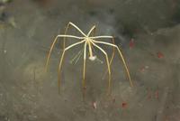 オオウミグモの仲間 01543044424| 写真素材・ストックフォト・画像・イラスト素材|アマナイメージズ