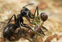 オオアリ属の一種 黄色くべとべとした体液を出し、別のオオアリも自分も死んでしまう