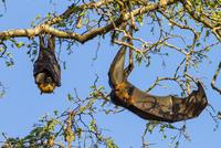 マダガスカルオオコウモリ