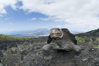 ガラパゴスゾウガメの亜種 01543045108| 写真素材・ストックフォト・画像・イラスト素材|アマナイメージズ