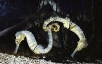 タツノオトシゴの仲間 01543045132| 写真素材・ストックフォト・画像・イラスト素材|アマナイメージズ
