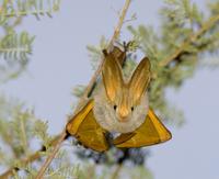 キバネアラコウモリ