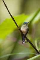 アオフタオハチドリ