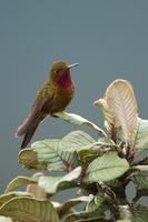 ネブリナテリオハチドリ
