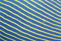 タテジマキンチャクダイの体の紋様 アップ
