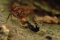 ハキリアリの仲間を噛むハネカクシの仲間 01543046082| 写真素材・ストックフォト・画像・イラスト素材|アマナイメージズ