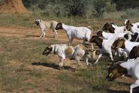 家畜をチーターから守るイヌ