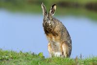 毛づくろいするヤブノウサギ
