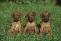 ローデシアン・リッジバックの子犬
