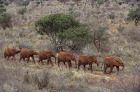 整列して歩くアフリカゾウ