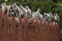 土の壁の上に並ぶハヌマンラングール