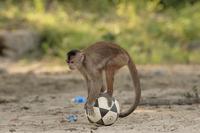 ボールで遊ぶシロガオオマキザル