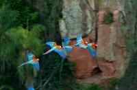 飛ぶベニコンゴウインコの群れ