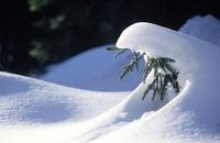 雪をかぶった針葉樹
