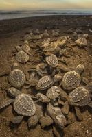 巣から出て海に向かうヒメウミガメの子 01543046233| 写真素材・ストックフォト・画像・イラスト素材|アマナイメージズ