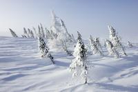 凍結した湖のほとりに生えるカナダトウヒ