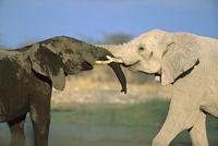 水場でじゃれ合うアフリカゾウ