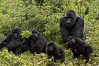 マウンテンゴリラのオスと2匹のメス、2匹の子