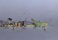 サバクトビバッタの群生相(左)と孤独相(右)