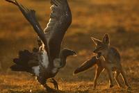 セグロジャッカルとコシジロハゲワシの闘い