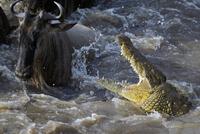 オグロヌーを襲うナイルワニ 01543047181| 写真素材・ストックフォト・画像・イラスト素材|アマナイメージズ