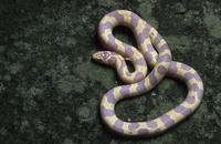 カリフォルニアキングヘビ(アルビノ)