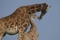 ウガンダキリンの母子