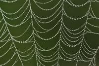 アシナガグモ科の一種の巣についた水滴